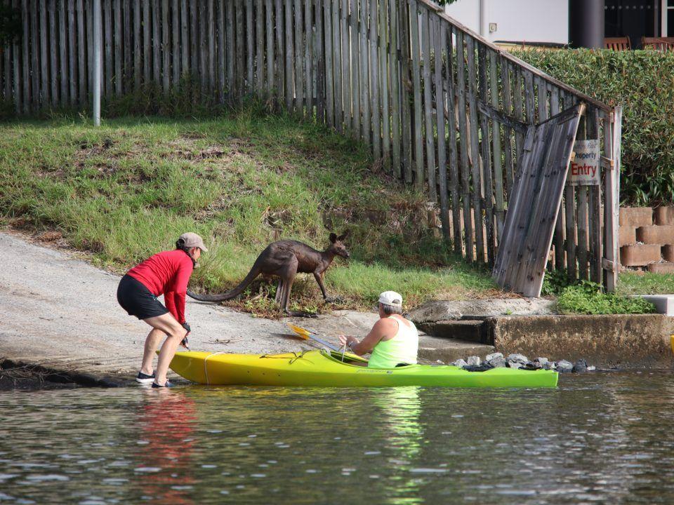 Heroic rescue of a Kangaroo